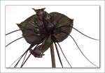 Black Bat Plant-3977 (Tacca chantrieri)